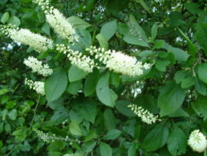 My favorite shrubs bushes for the philadelphia area newtown pink blue or white different types available can bloom for a couple of months in early summer longer than other most other flowering shrubs mightylinksfo