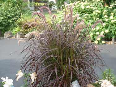 My favorite perennials for the philadelphia area newtown for Fountain grass for shade