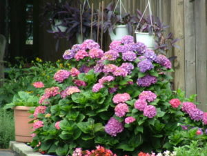 My favorite shrubs bushes for the philadelphia area newtown flowers blue with acid soil pink in alkaline soil also comes in white varieties grows about 3 ft high and wide mightylinksfo