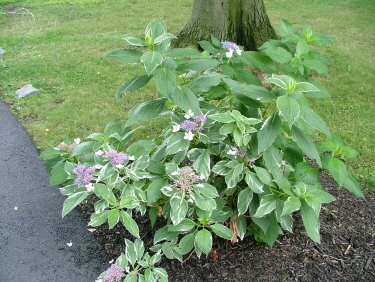 how to grow large hydrangea bushes