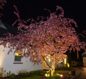 Crab Apple Tree in Bloom with Low Voltage LED Lights