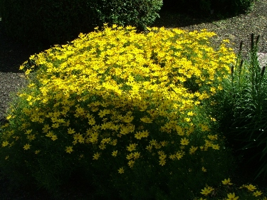 Yellow perennial flowers names flower shop near me coreopsis verticillata mightylinksfo