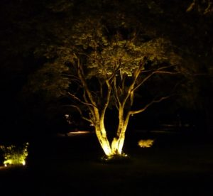 Japanese Maple tree at night with LED lights