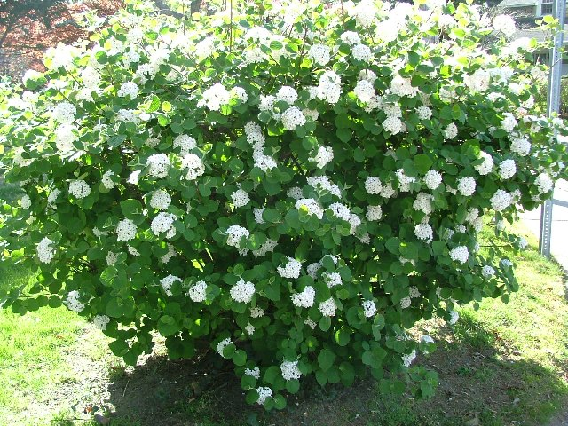 My favorite shrubs bushes for the philadelphia area newtown my favorite shrubs bushes for the philadelphia area newtown square pa robert j kleinberg landscape design mightylinksfo Gallery