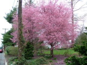 My favorite flowering trees for the philadelphia area newtown crabapple there are a lot of varieties of crabapple with a lot of different habits blooms come in white pink and red in mid to late april with the mightylinksfo