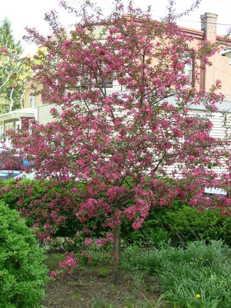 My favorite flowering trees for the philadelphia area newtown crabappleprairifiresmallg mightylinksfo