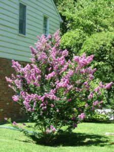 crapemyrtleinbloom_small.jpg