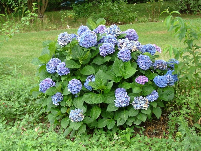 Different Types Of Hydrangea Bushes