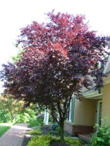 purpleleafpluminleaf_small.jpg