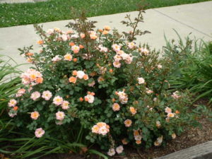 shrub rose 1.jpg (75167 bytes)