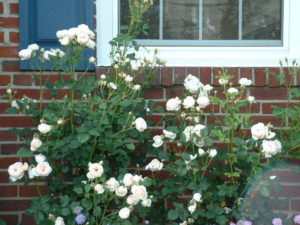 shrub rose 4.jpg (76996 bytes)