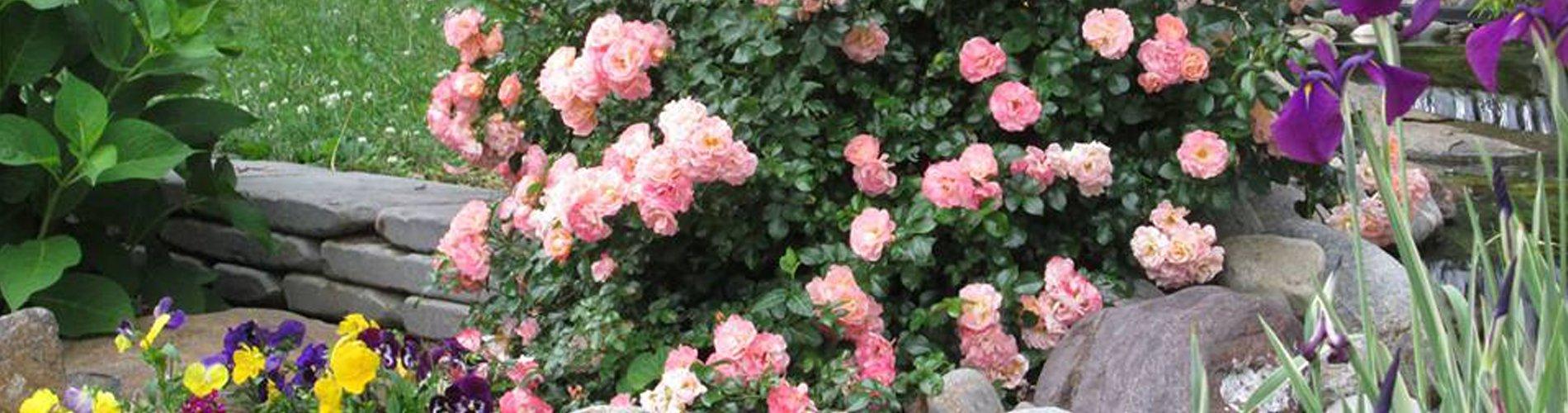 Peach Drift Rose above Pond - Newtown Square PA