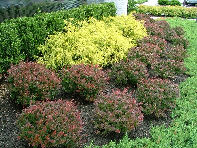 Barberry Very Deer Resistant Because Of Its Many Small Sharp Spines Most Commonly Seen Type Is The Crimson Pigmy With Reddish Deciduous Foliage And