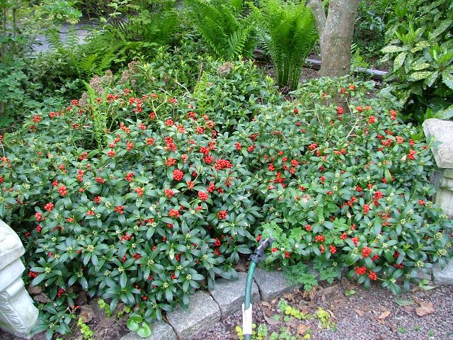 Anese Skimmia Very Deer Resistant Slow Growing And Low Evergreen Shrub I Have Not Seen It Over 2 Or 3 Ft But Read That Can Get